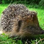 strimmer_hedgehog
